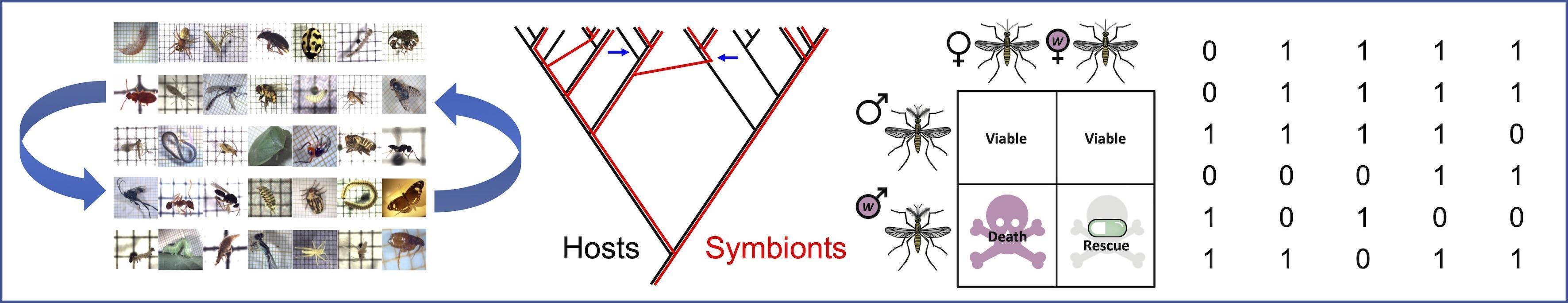 Une illustration de nos travaux portant sur les bactéries Wolbachia